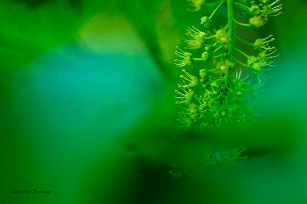 fleur d'érable