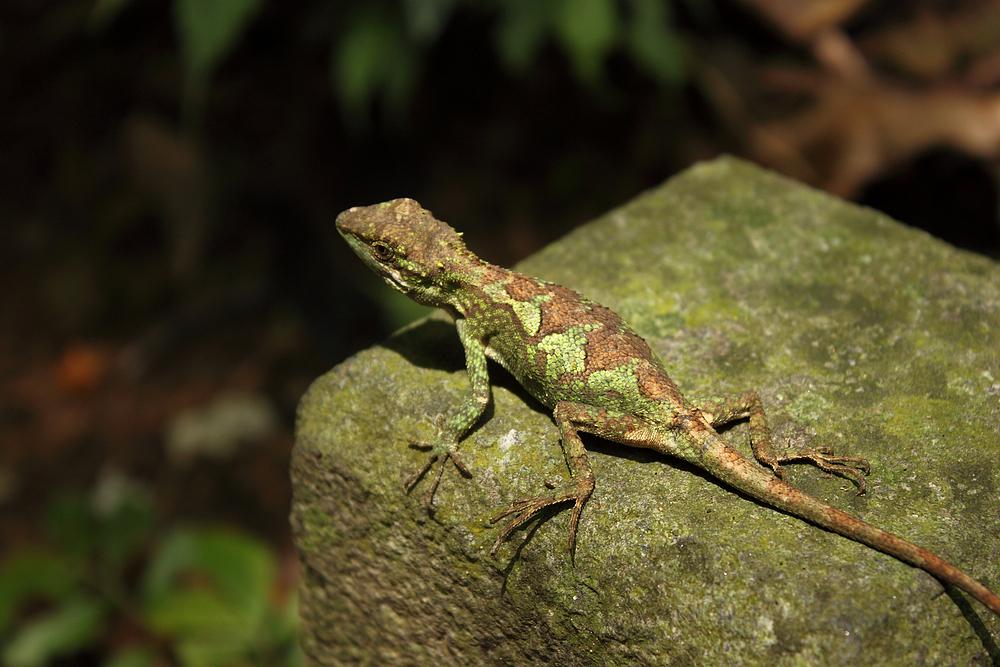 The Still Lizard
