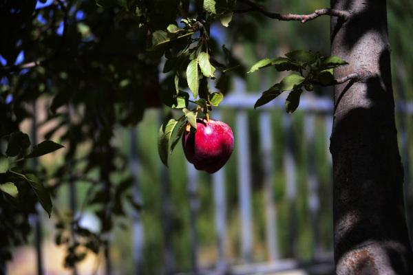 سیب حوا