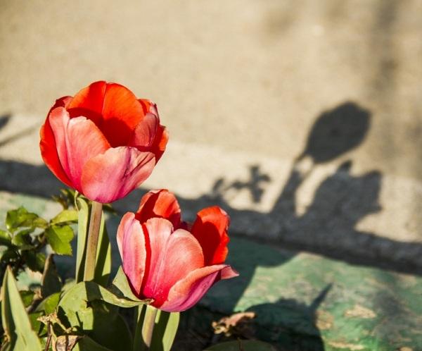 Les tulipes 3