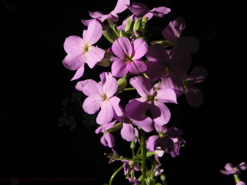 Purple flowers on black background