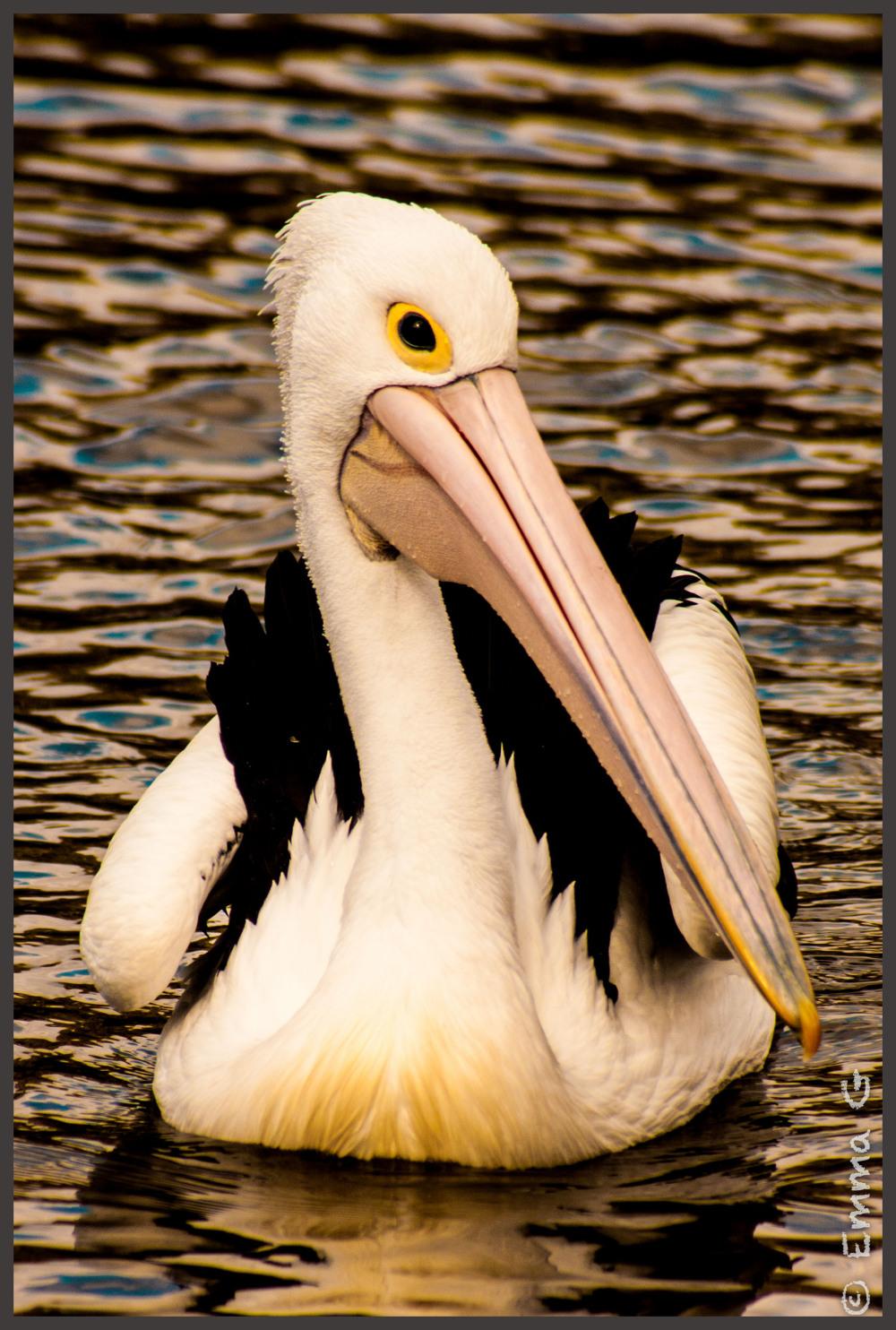 Pelican at Tidbinbilla