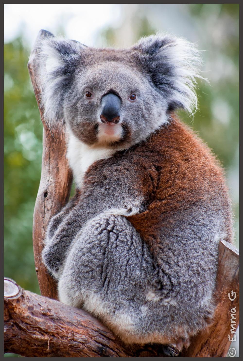 Tidbinbilla Koala