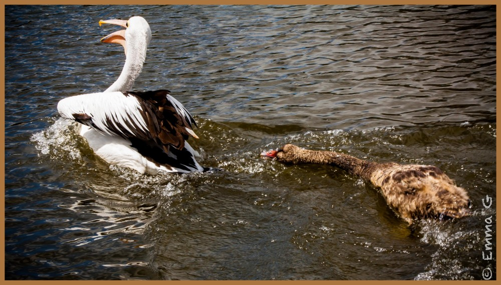 Cygnet chasing a Pelican!