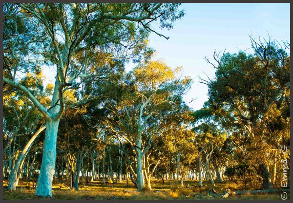 Aussie Gum Trees