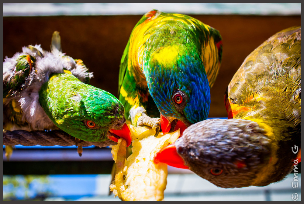 Parakeets at Gold Creek Aviary, Canberra