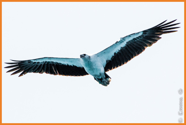 Sea Eagle - Whitsunday Islands