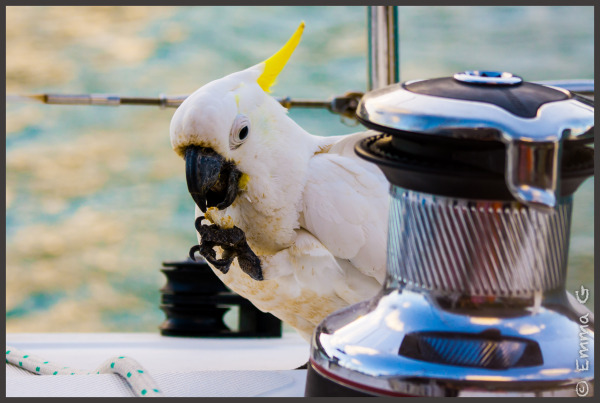 Cockatoo at sea