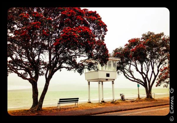 Pohutakawa Tree...NZ's Xmas Tree...