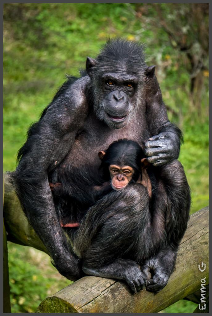 Baby Chimp   Hamilton Zoo Photo Walk #5