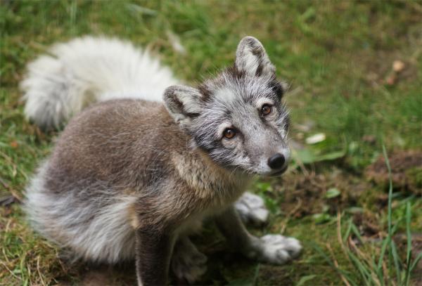 Arctic Fox at Woodland Park Zoo