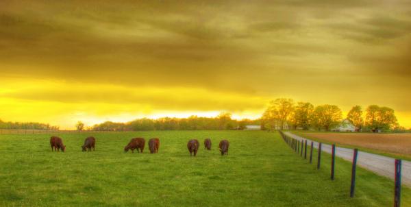 Cows... Dusk... Peace