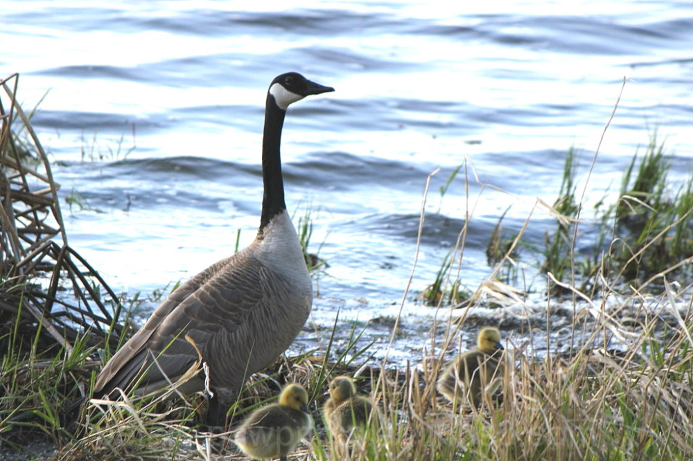 Canada Goose and Gooslings