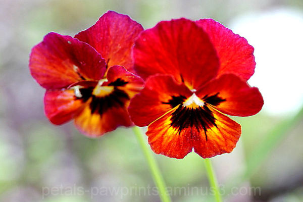 Pansy Delight