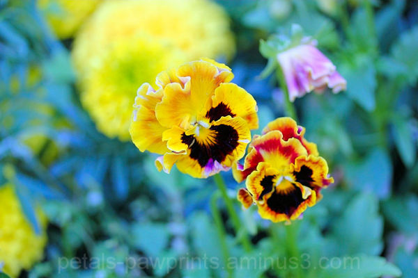 Pansy Passion