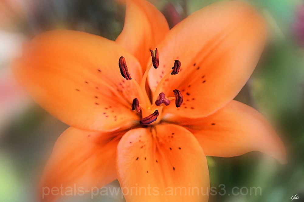 Tiger Lily Whispers