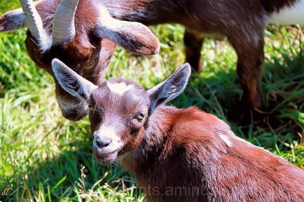Barnyard Series Goofy Goats