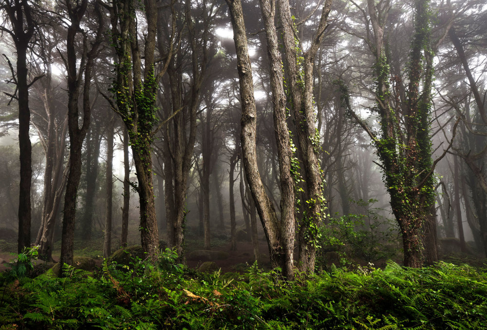 Mysty trees and forest in serra de Sintra Portugal