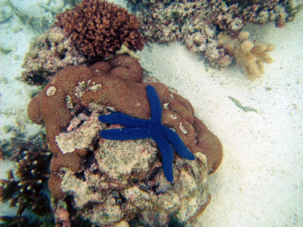 blue sea star
