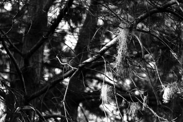 high contrast black and white pine tree branches