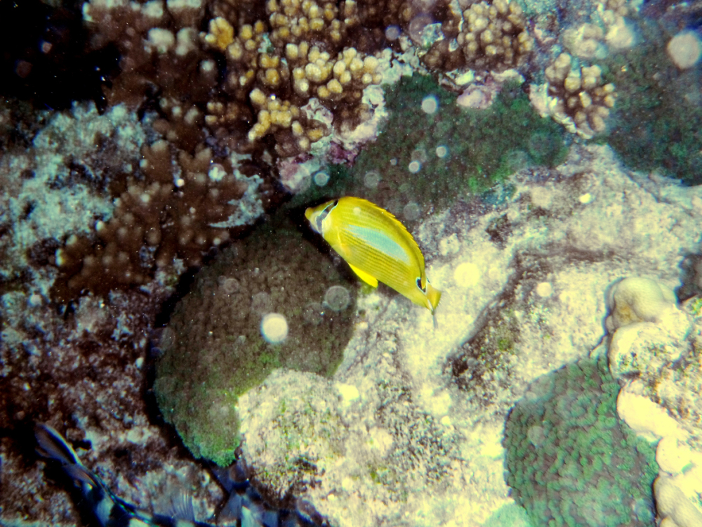 yellow fish underwater