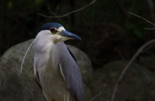 le bihoreau du parc de  l'ile de la visitation
