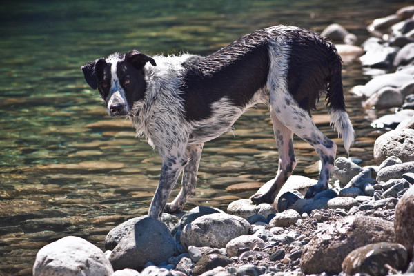 A terrier-type dog taking a drink from the river.