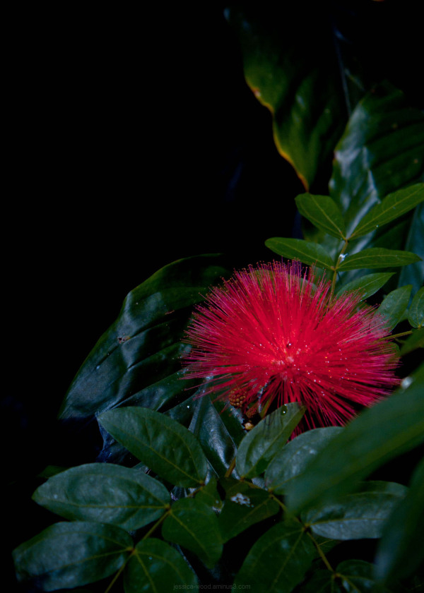 Exotic red Calliandra in darkness