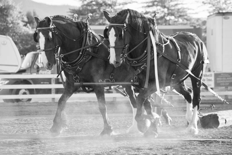 A team of draft mares pull logs through a course.