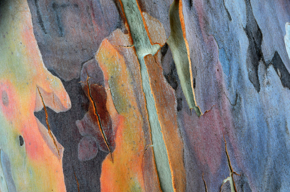 Bark of Eucalyptus Tree