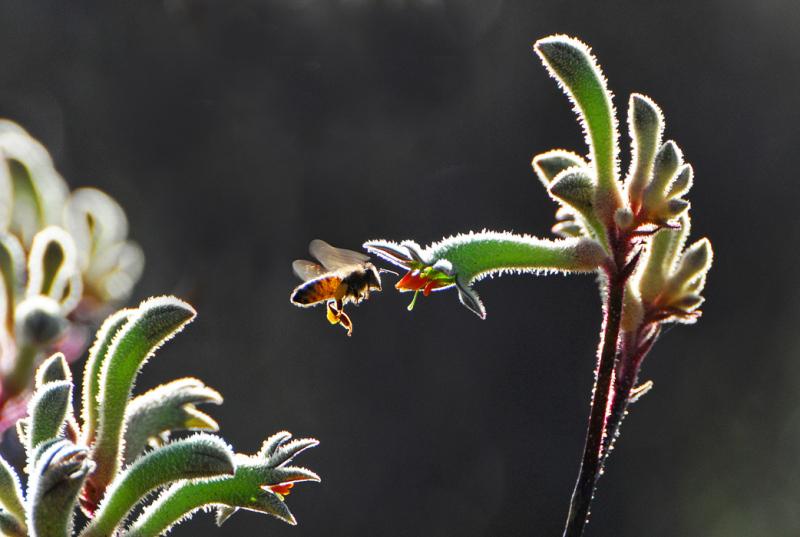 bee plant kangaroo-paws