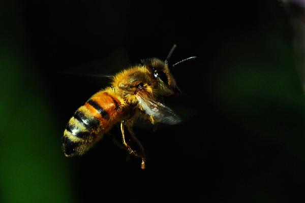 flying bee flight