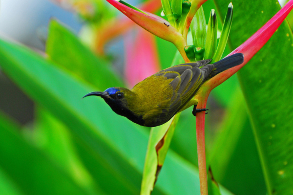 bird sunbird heliconia ginger plant