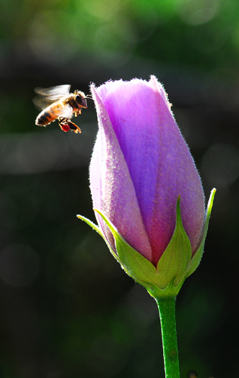 violet flower bee flying
