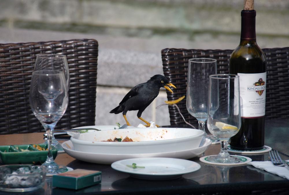 crow food
