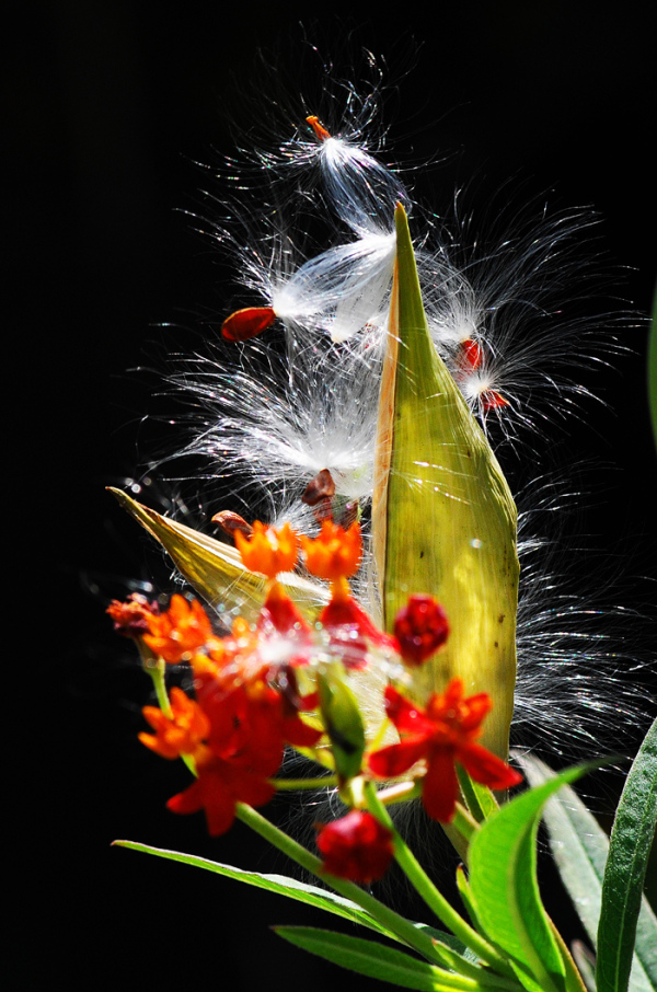 seeds dispersing flower