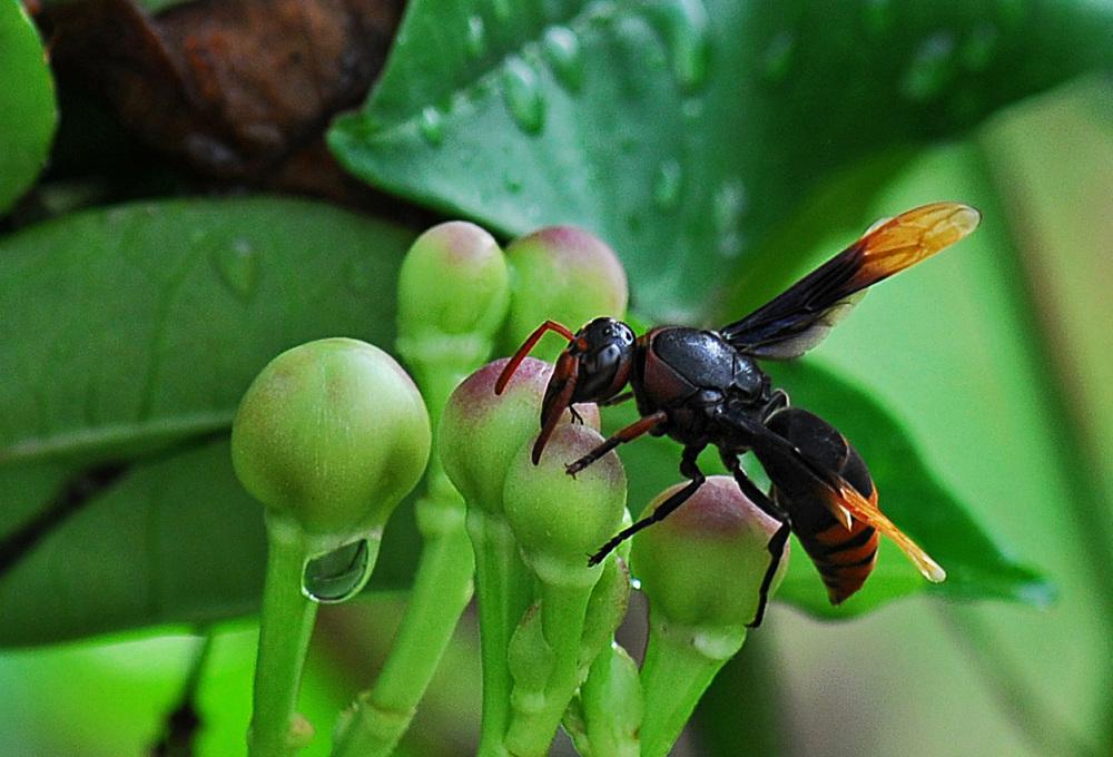 hornet plant