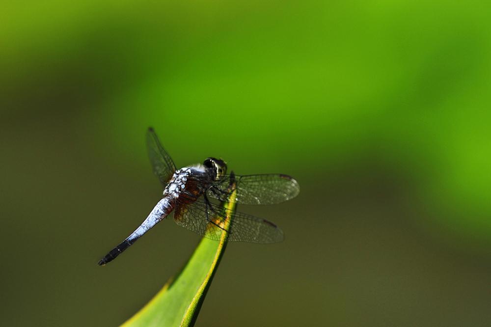 A Blue Dragonfly