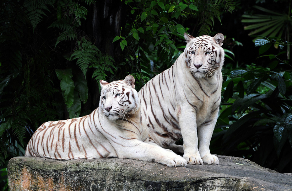 Bengal White Tigers