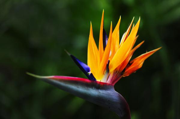 Bird of Paradise (Heliconia)
