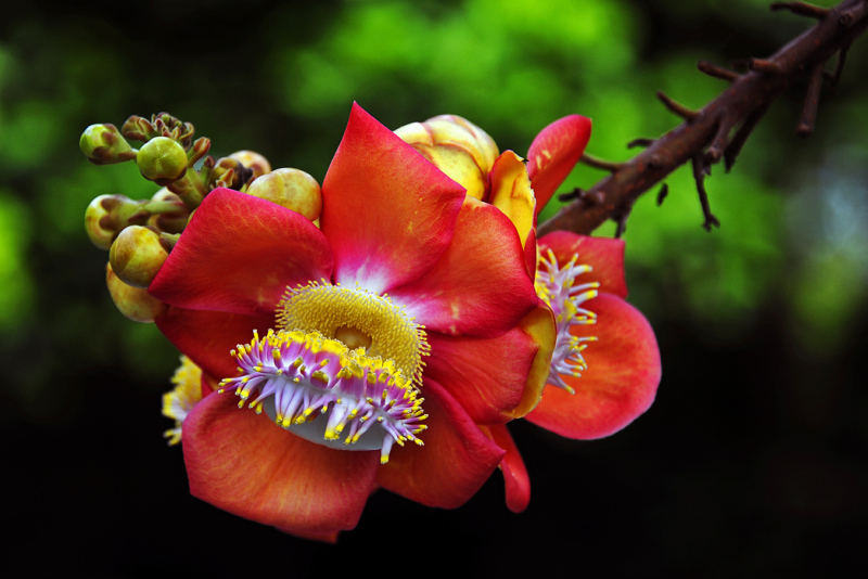 Flower of the Cannonball Tree