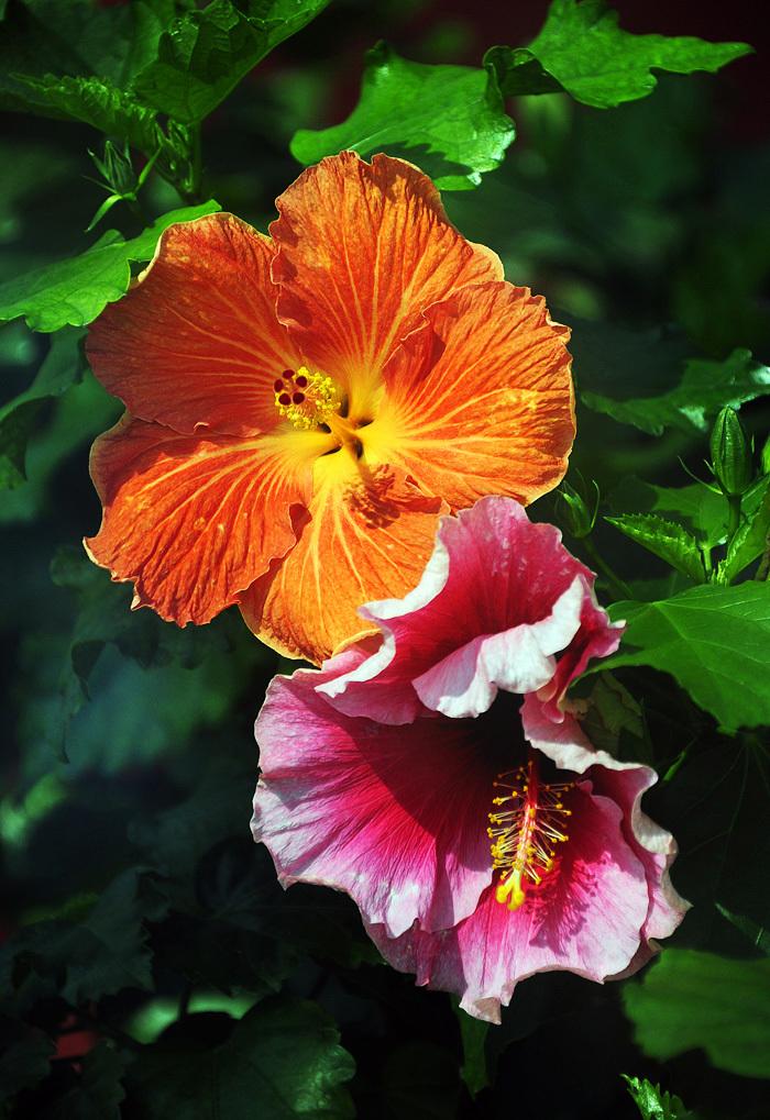 Hibiscus #4