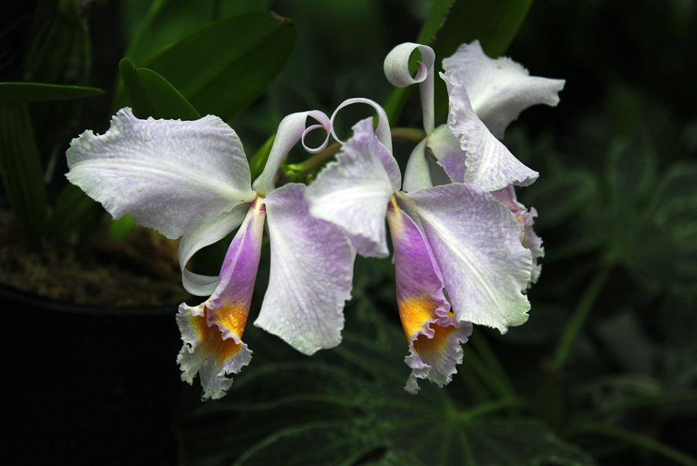 New World Orchids