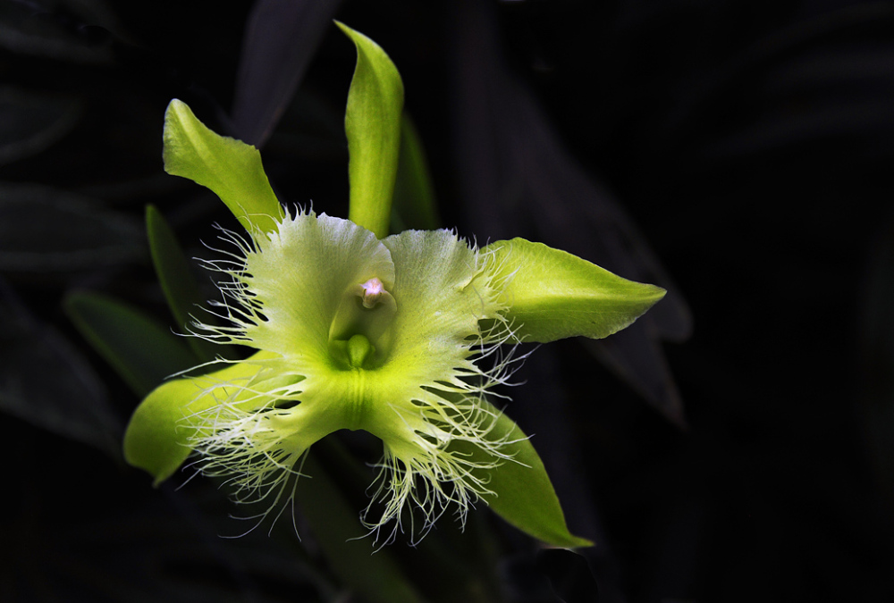New World Orchid