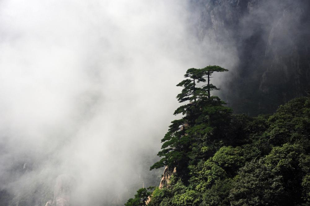Pines of Huangshan