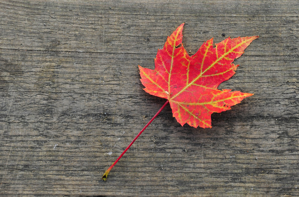 An Autumn Leaf