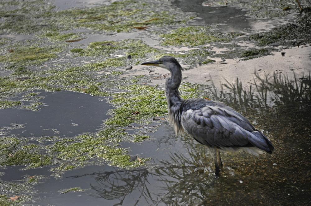 Heron in Nature