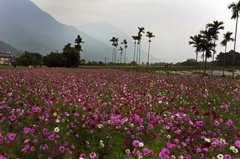 Field of Flowers - HuaLian, Taiwan