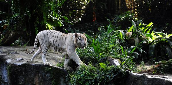 White Tiger - Singapore Zoo