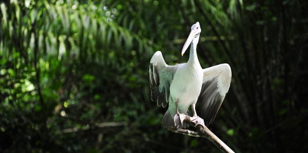 Stork - Singapore Zoo
